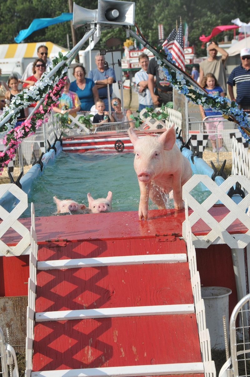 Racing Pigs at Franklin County Fair Greenfield Peter MacDonald